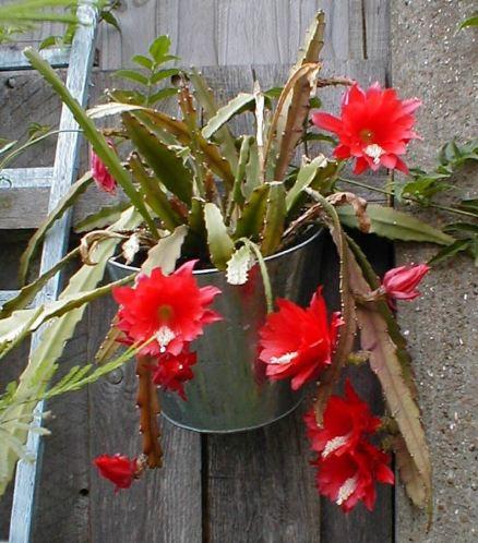 Epiphyllum Disocactus Ackermannii Indoor House image