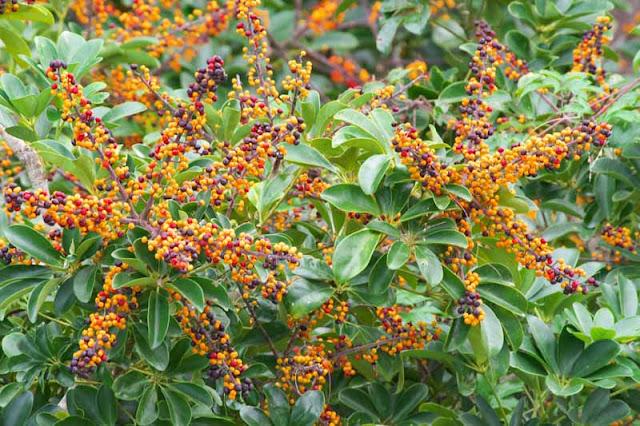Schefflera arboricola, flowers, plants, trees