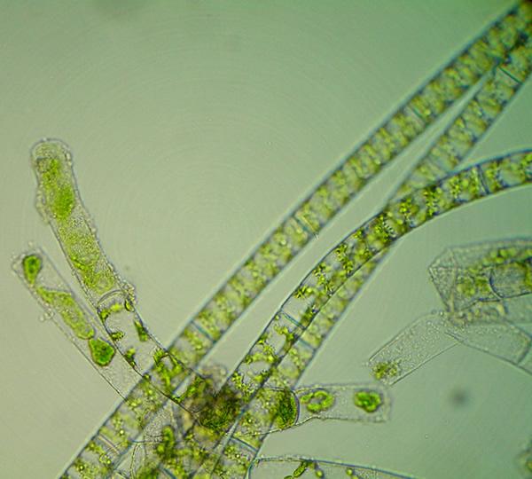 Charophyceae
