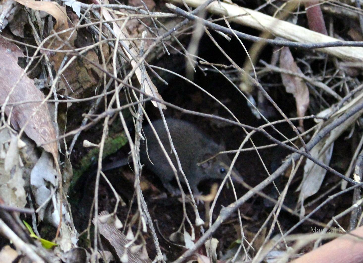 アンテキヌス ネズミに見えますが、Antechinus(アンテキヌス)ではないかな?