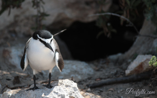 Bridle tern at Penguin Island