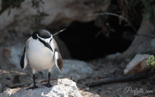 Bridle tern at Penguin Island