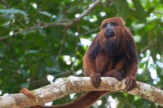 Febre Amarela: o importante papel dos primatas na nossa proteção!