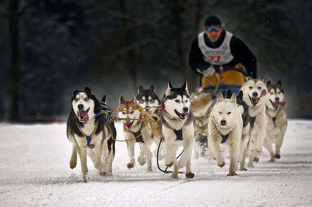 theKONGBLOG™: Sled Dogs: A One Of A Kind Breed
