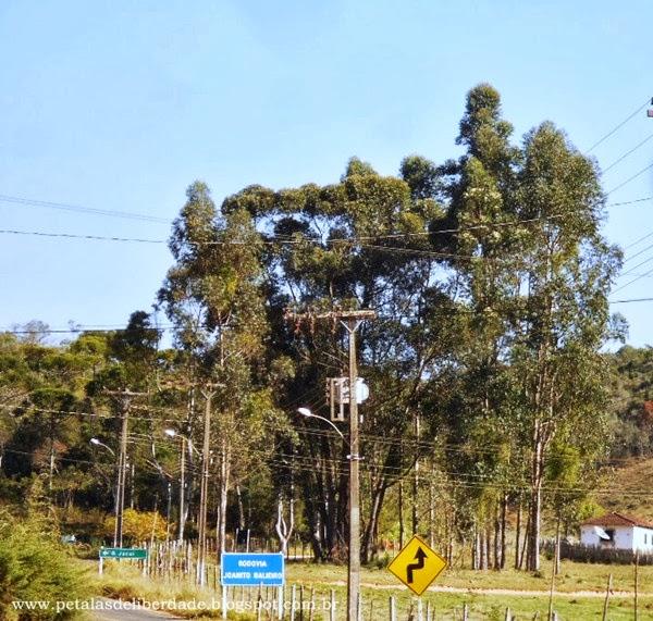 eucaliptos, árvores grandes