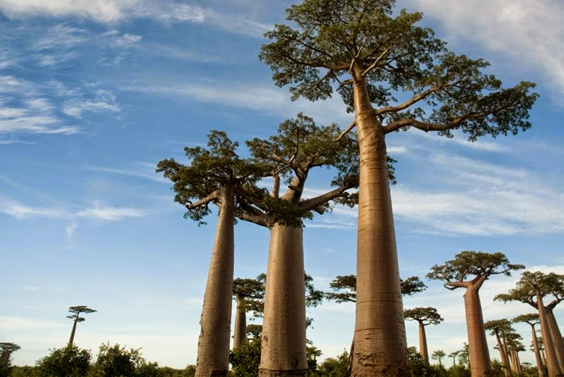 Trees in Madagascar