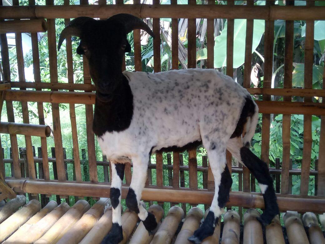 Domba Muda Betina Bertanduk Panjang Harian Umum Radar Karawang
