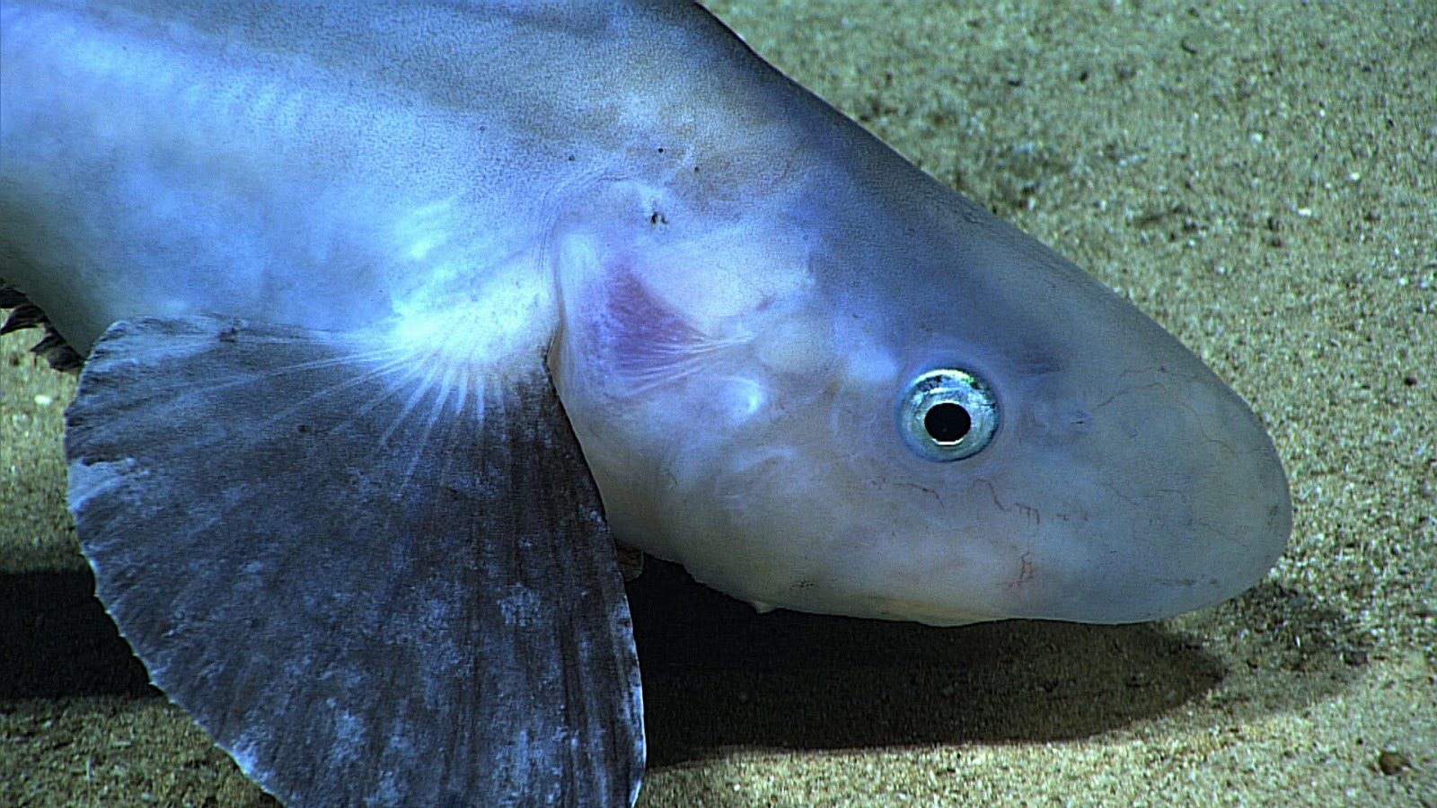 Real monstrosities jellynose fish for Big nose fish