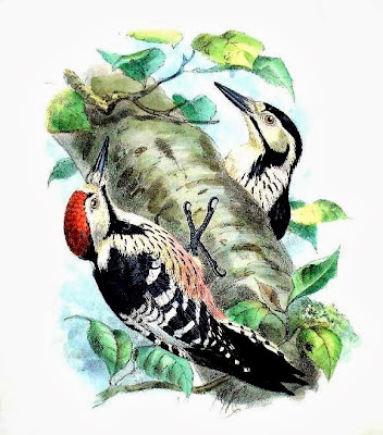 White backed Woodpecker