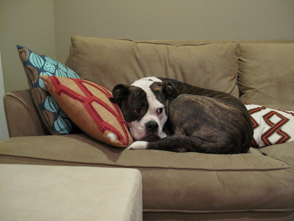how can i stop my dog jumping on the sofa stanley furniture india two pitties in city doggystyle dogs couches and