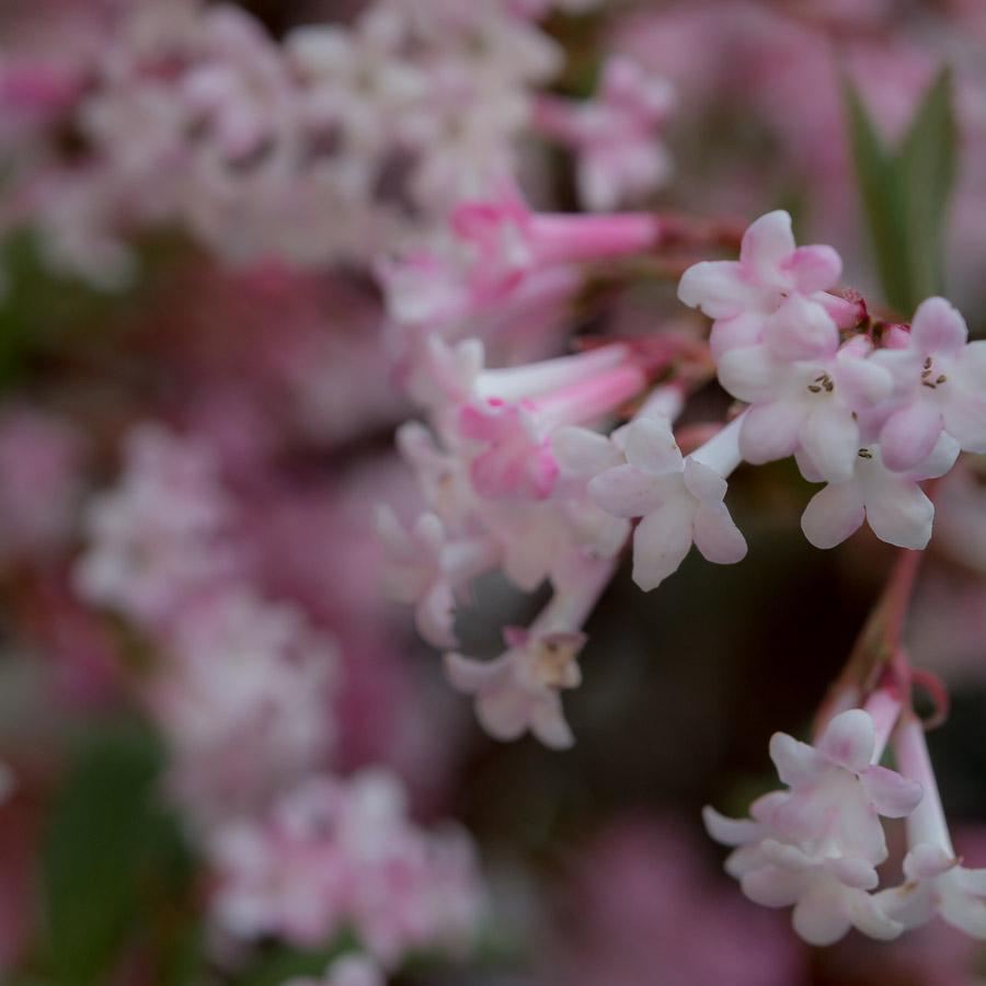 Helle Blüten verströmen wohligen Duft