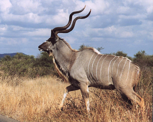 Do you know Kudu? See facts and information 7