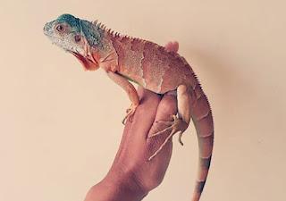 Jenis Iguana merah dan Harganya, red iguana