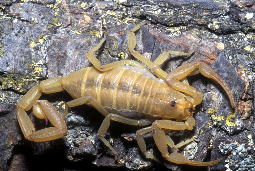 Scorpion Facts And Pictures | All Wildlife Photographs