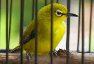 merupakan salah satu burung kicau yang dikala ini banyak dipelihara di Indonesia Mengenal Burung Pleci