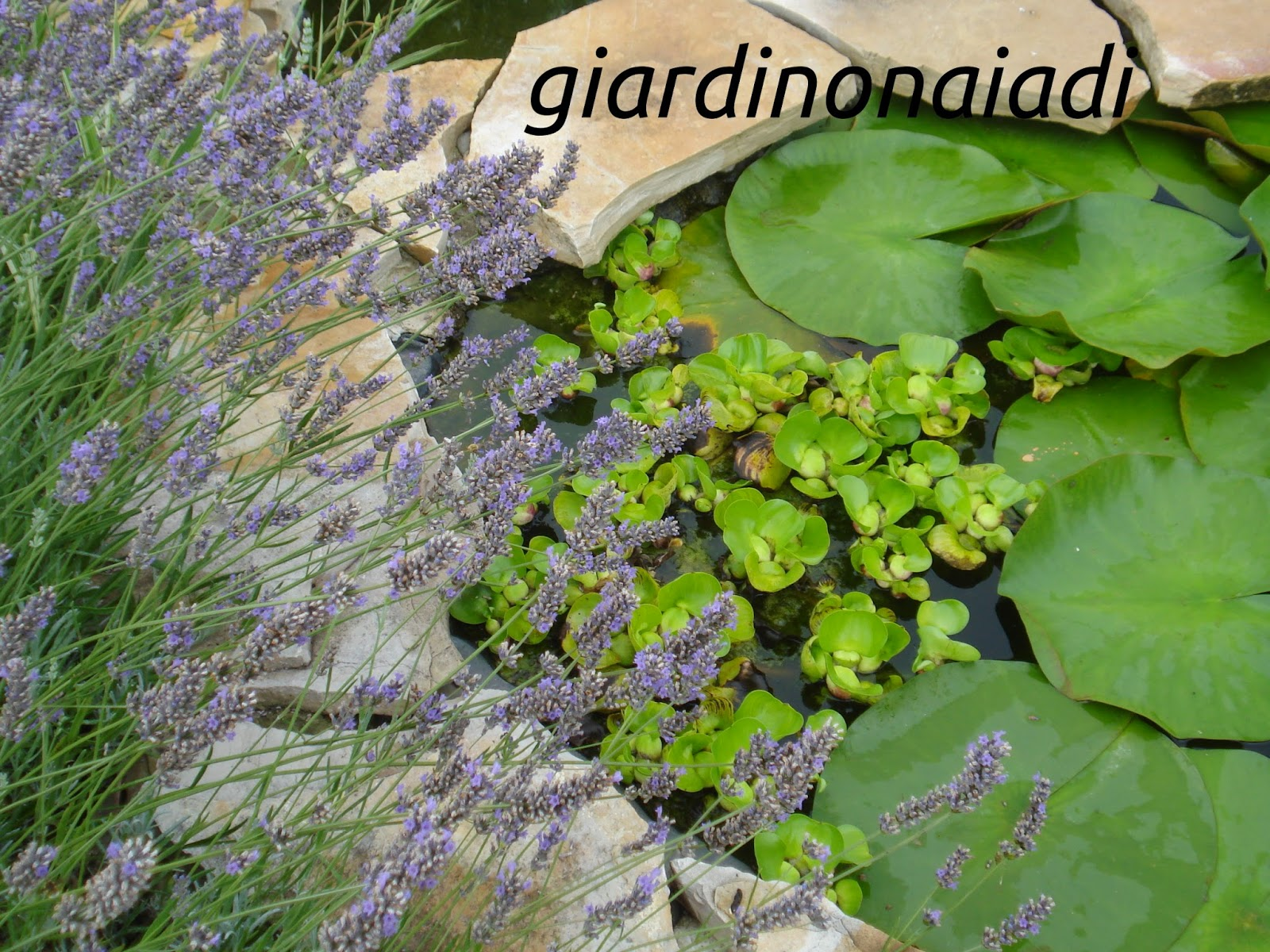 Pianta Orecchie Di Agnello il giardino delle naiadi: luglio 2012