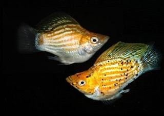 cara merawat anak ikan molly,ikan molly balon jantan dan betina,harga ikan molly balon,ikan molly balon hamil,molly balon wikipedia,ikan hias molly,makanan ikan balon molly,