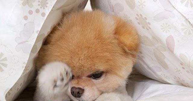 Boo The World S Cutest Dog Ritemail