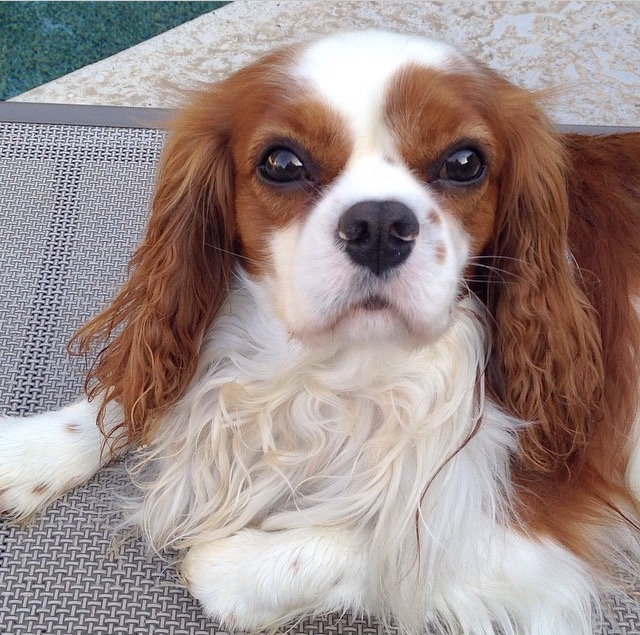 Blenheim Cavalier King Charles Spaniel close up