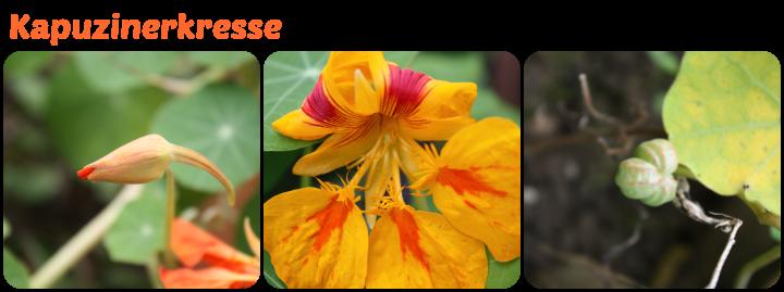 Knospe, Blüte und Samnstand der Kapuzinerkresse