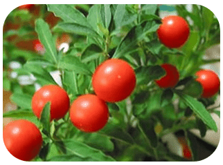 Ashwaganda is used always in combination with other Ayurvedic herbs, in order to achieve full effect and to prevent unwanted effects that would be created if the ashwagandha provided independently.