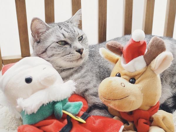 うざったそうにトナカイを見つめるサバトラ猫