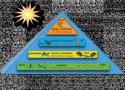 Aliran Energi Dalam Ekosistem ( Rantai Makanan Trofik )