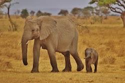 Benarkah Gajah Tidak Pernah Lupa?