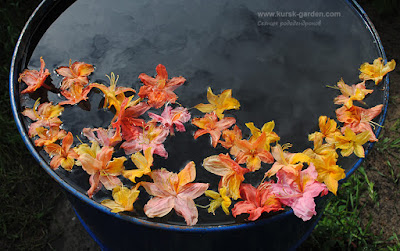 Цветки рододендронов