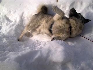 koira, lumi, piehtarointi