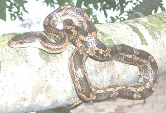 rat snake texas images - photo #30