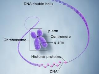 Bagian-bagian struktur Kromosom