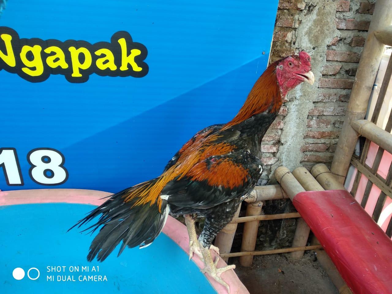 Cara Sederhana Agar Ayam Bangkok Pukul K.O
