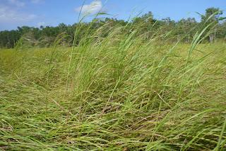 Panicum trachyrhachis grassland