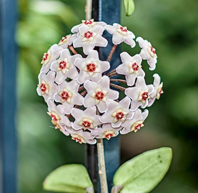 Flor de Clepia