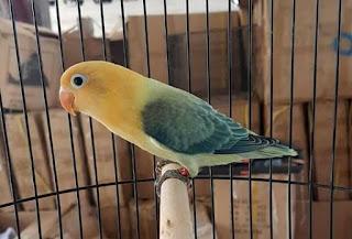 Harga Burung Lovebird Biola
