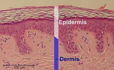 Sistem Integumen Epidermis