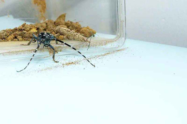 Longhorn Beetle leaving cage