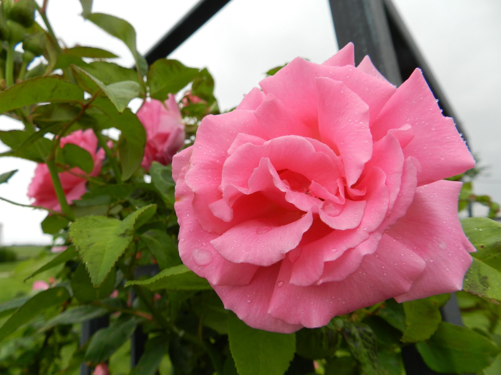 Love Garden Roses: Prairie Rose's Garden: Book Review And A Few New Blooms