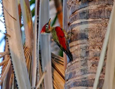 Pito alas rojas Picus puniceus
