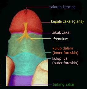 Image result for Frenulum lelaki