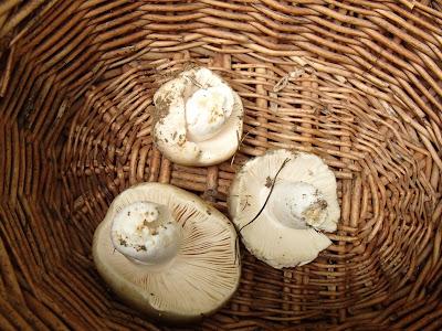 grzyby 2017, grzyby w czerwcu, grzyby na Orawie, pieprznik jadalny, kurka, borowik ceglastopory, bacówka, oscypki, żętyca, sery