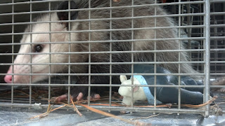 Opossum in a trap - caught in New Orleans