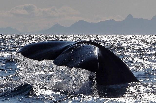 Avistamiento de Ballenas Cachalotes en Andenes Noruega
