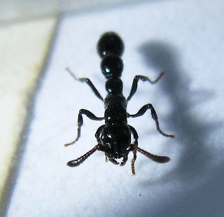 A major worker of Cerapachys ant