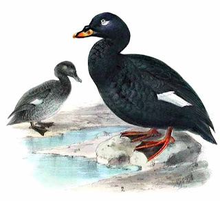 aves de Asia en extincion Melanitta fusca