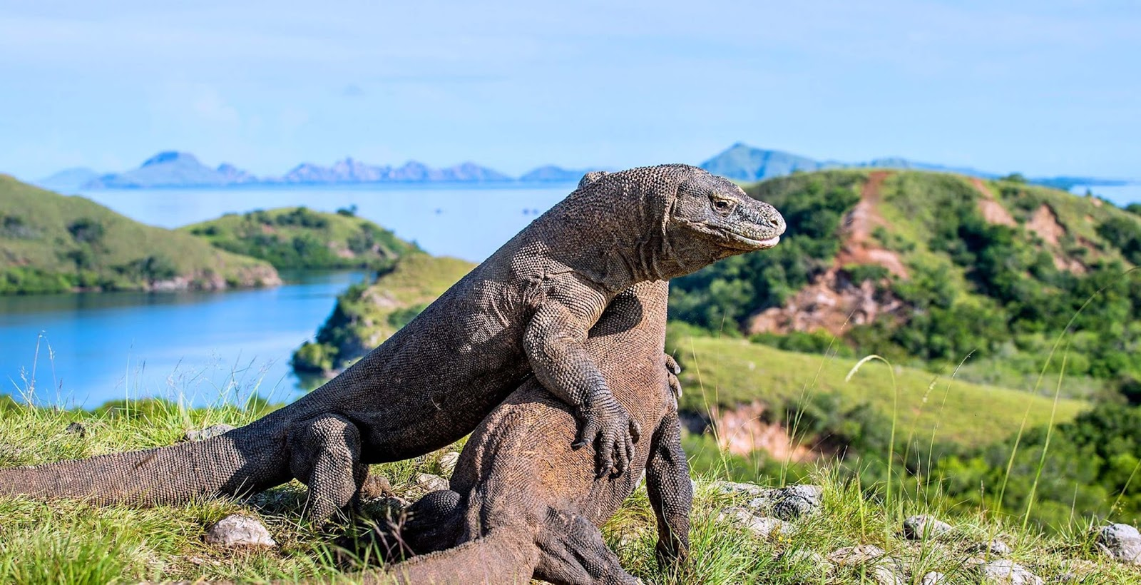 Komodo Island is located in the province of East Nusa Tenggara, precisely in the district of Komodo, West Manggarai regency. Komodo Island is the most brat tip of the province of NTT, which borders the province of West Nusa Tenggara.