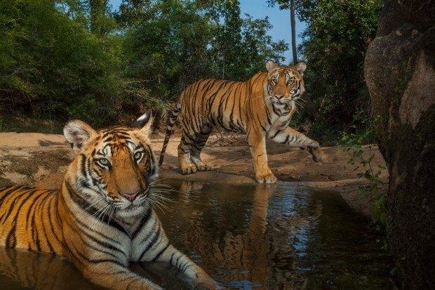 TIGRE-DE-BENGALA - O nome desse gatão se deve à presença dele no Estado de Bengala ocidental, Índia.