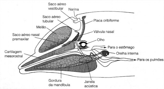 golfinho-nariz-de-garrafa