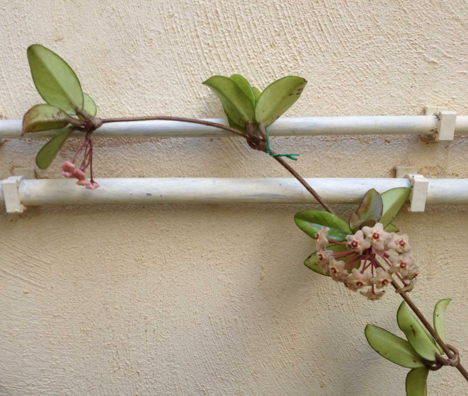Taking Care Of A Hoya Plant
